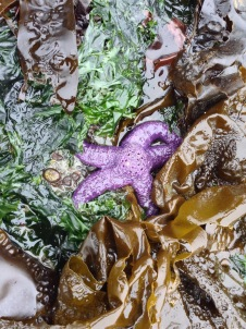 Purple sea star in seaweed garden
