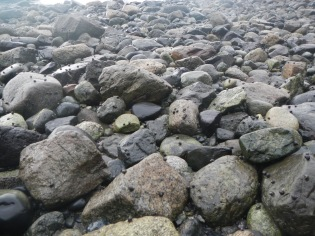 Snails covering intertidal rocks. Diving ducks such as Buffleheads and Harlequin ducks feed on these tiny snails.
